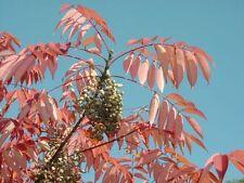 Rhus sylvestris (10 graines/seeds )