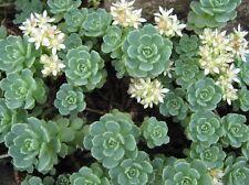 Sedum pachyclados - Perennial Alpine Rockery Succulent Plant In 7 cm Pot
