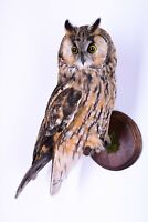 Taxidermy Long-eared owl Bird Stuffed animal Mount Asio otus