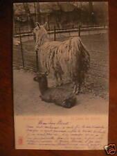 cpa zoo les lamas lama