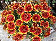 BLANKETFLOWER DWARF BICOLOR - 300 seeds - Gaillardia aristata - PERENNIAL FLOWER