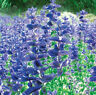 FD1543 Pastoral Blue Sage Seed Salvia Farinacea Garden Flower ~1 Pack 50 Seeds~