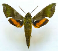 SPHINGIDAE: Xylophanes pluto / MOUNTED Hawk Moth / Limon Province, Costa Rica A1