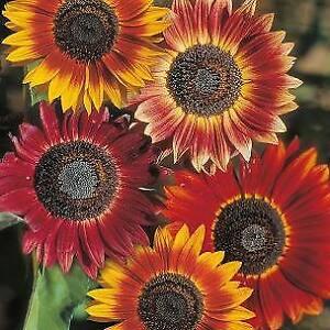 McKenzie sunflower seeds- Evening colours