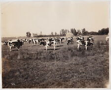 Asahel Curtis Cows Haystacks Alaska INK-STAMP VERSO VINTAGE RARE 1900s photo!