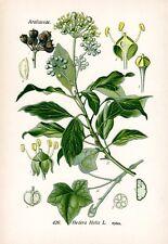 Hedera helix - Efeu  THOME Chromo-Lithographie um 1900 common ivy