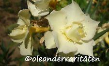 Oleander Pflanzen LUTEUM PLENUM Top-WARE 3l Topf gelb gefüllt 60-70cm
