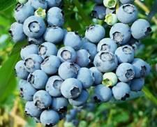 300Pcs Rare Great Bilberry Fresh Seeds Sweet Perennial Fruits Winter Home Garden