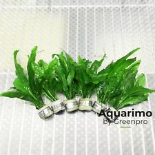Java Fern 6 Bundles Pack Tropical Freshwater Aquarium Live Plant Decoration Tank