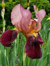 2 Rhizome Flower Bulb Indian Chief Tall Bearded IriIs Perennial Violet Burgundy
