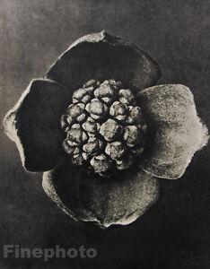 1942 Karl Blossfeldt Original Botanical Plant Flower Vintage Photo Gravure Art