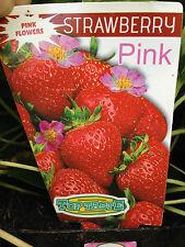 STRAWBERRY 'PINK' Fragaria x ananassa medium sized sweet fruit plant 100mm pot
