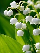 Lily of the valley, hardy perennial 12 bulbs