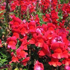 150 Graines de Muflier Rouge Nain Gueule de Loup Méthode BIO Fleurs plantes