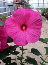 Hibiscus mos. 'Hot Pink' - pinke 25cm XXL Blüten - Pflanze Winterharter Hibiskus