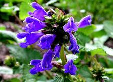 25 Semillas de Dracocephalum Roca / Flor Azul Intenso
