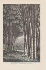 Bambus auf Java Bambusoideae HOLZSTICH von 1898 Botanik