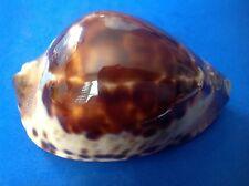 76.1mm Cypraea jeaniana jeaniana shell seashell RARE GREAT EXTRA DARK QUALITY