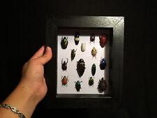 Cabinet de curiosités / Entomologie / Frame Cadre insectes du monde entier!!