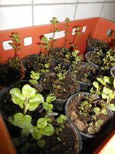 STRAUCHBASILIKUM grün, winterharte Staude, Basilikum Kräuterpflanze Kräuter BIO