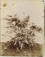 PHOTO VINTAGE : EUGENE ATGET 1900 ETUDE VEGETALE PLANT TOMATES albumine