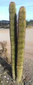 Neobuxbaumia polylopha Nice 10 Inch Cloumnar Cactus
