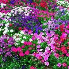 Verbena- Mix colors- 50 Seeds - 50 % off sale