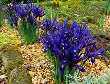 25 Flower Bulbs,Dwarf Iris Reticulata Harmony,fragrant, royal-blue  w white