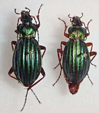 Carabidae Carabus Chrysocarabus auronitens auronitens Set Germany #W83 Beetle