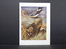 Birds British c 1930 Original Color Book Plate S5#147 Wheatear