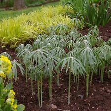 Umbrella Plant- Cyperus Alternifolius- 100 Seeds