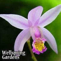 Ground Orchid - Bletilla yokohama Kate Hardy Zone 6 LIVE PLANT purple flower