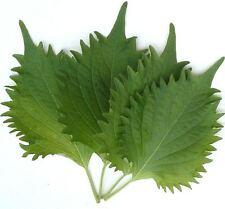 JAPANESE PERILLA 'Green' 100 seeds shiso herb garden beefsteak plant Furikake