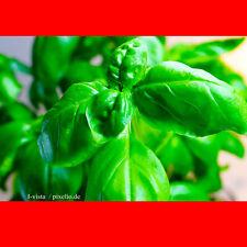 Basilikum 350 Samen - Saatgut - Salat - Gewürz - Pesto - Heilpflanze - 001378