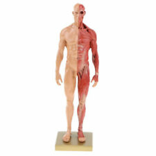 EE_ AM_ FJ- Resin Human Male Anatomy Muscle Skeleton Model Art Figure Medical Te