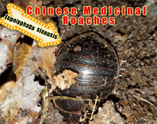 CHINESE MEDICINAL ROACHES!  RARE!  FREE SHIPPING!  IMPRESS YOUR FRIENDS!