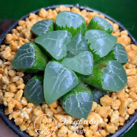 "Haworthia cv 'Tuki Kage' Adult Rare Succulent Plant in 3.5"" Pot"