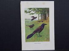 Purple Grackle Print, c. 1909 - 1917 R. Bruce Horsfall #36
