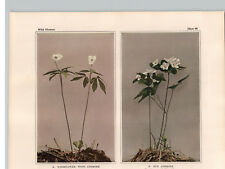 1934 Wildflower Book Plate Wood, Rue and Canada Anemone