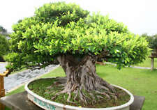50+ Banyan Fig Tree Seeds - Ficus benghalensis - Indian Bonsai USA - BKSeeds