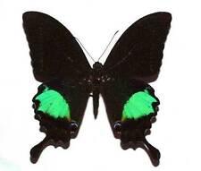 PAPILIO PARIS GEDEENSIS - unmounted butterfly
