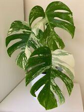 Monstera Albo Borsigiana (RARE) - White Variegated (3-Leaf plant, Rooted)