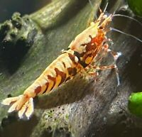 5 Red Pinto & Galaxy Shrimp (Mixed Grade S-SSS) Live Aquarium Shrimp