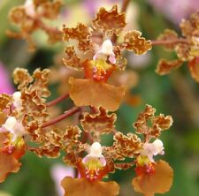 """New listing Rarely Offered Oncidium luridum Bloom size 6"""" pot Mule Ear Species"""