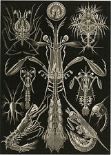 Art Forms in Nature: Ernst Haeckel: Thoracostraca - Fine Art Print