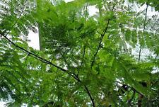 Enterolobium cyclocarpum, Elephant Ear Pod Tree, 10 seeds
