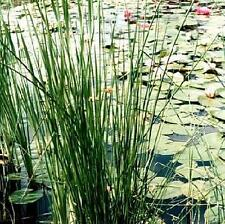 Ornamental Grass Seed - Juncus Effusus Seeds