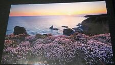 England Pink sea thrift flowers Bedruthan Steps PCC526 Arteco - posted 2015