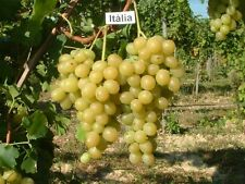 New listing 40 grape seeds Tasty grape Italia From Moldova,