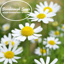 Scarborough Seeds Roman Chamomile 1000 Seeds Groundcover Edible Landscaping Lawn